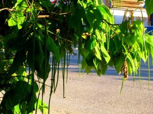 Катальпы на улицах города Николаевска. Фото Юлии Руденко.